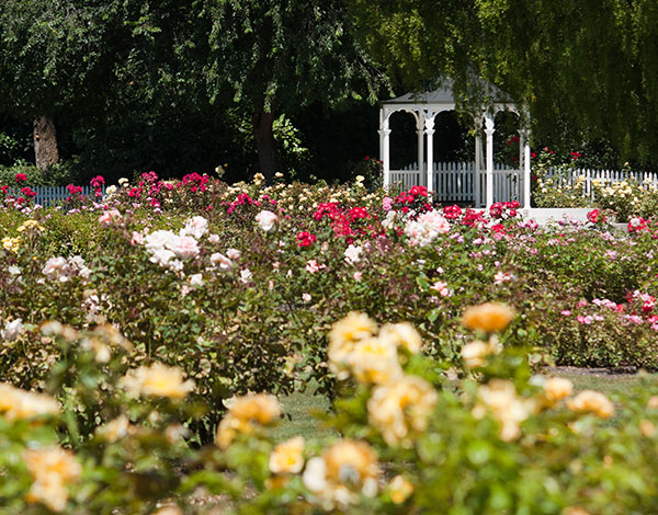 International Rose Test Garden in Portland, OR